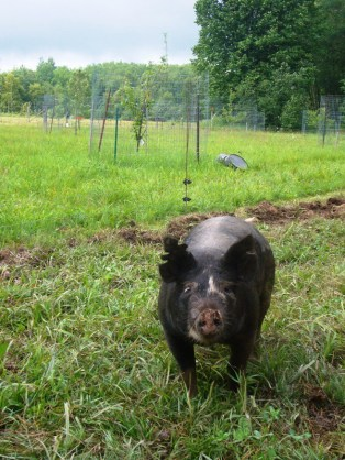 Black-faced pig