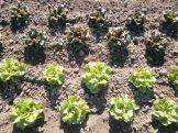 Lettuce babies