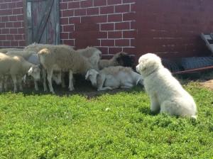 Maremma Pup from Meadowcreek Farms