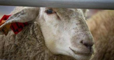 Grâce à votre mobilisation, la fin de l'enfer vécu par les moutons transportés par bateau de l'Australie vers le Moyen-Orient.