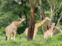 A few of the twelve giraffes currently living at the sanctuary, ranging in age from one month to sixteen years
