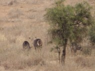 We also saw these waterbucks from the tower.