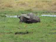 Cape Buffalo wallowing.