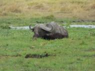 Cape Buffalo wallowing.