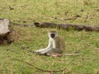 Black-faced vervet monkey just watching us go by.