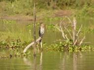 Lesser cormorant