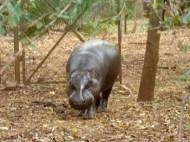 Pygmy hippo!