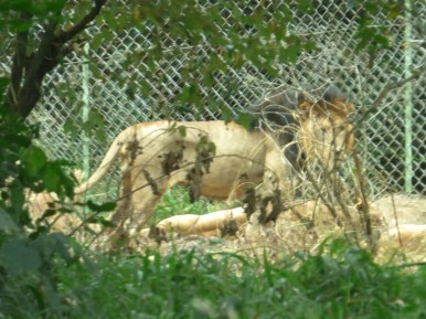 The lions stayed way at the back of their enclosure.