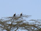 Fish Eagles - they have a very distinctive cry, and we loved watching them circle over the lake.