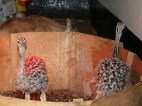 Baby Ostriches