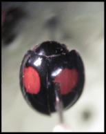 Hyperaspis lateralis
