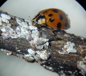 Harmonia axyridis feeding on CMBS. Photo by Daniel Tomi
