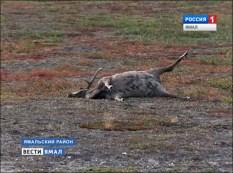 reindeer_carcass