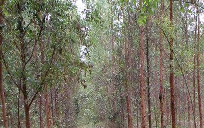 Sweden Approves Field Trials of Gene Edited Poplars