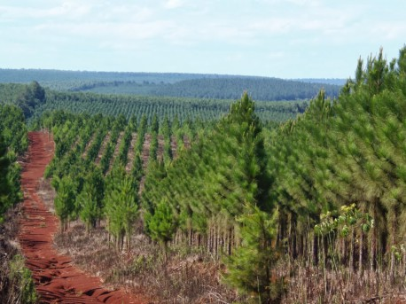 Trees and Transgenics in Chile: The New 'Spark' of the Forest Industry