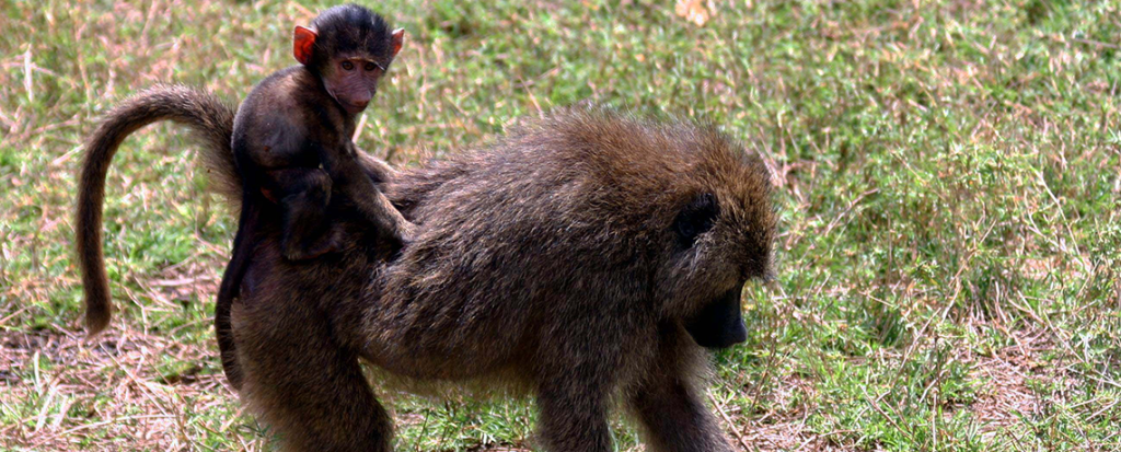 Baboons Accused of Destroying Plantation Trees by Timber Companies