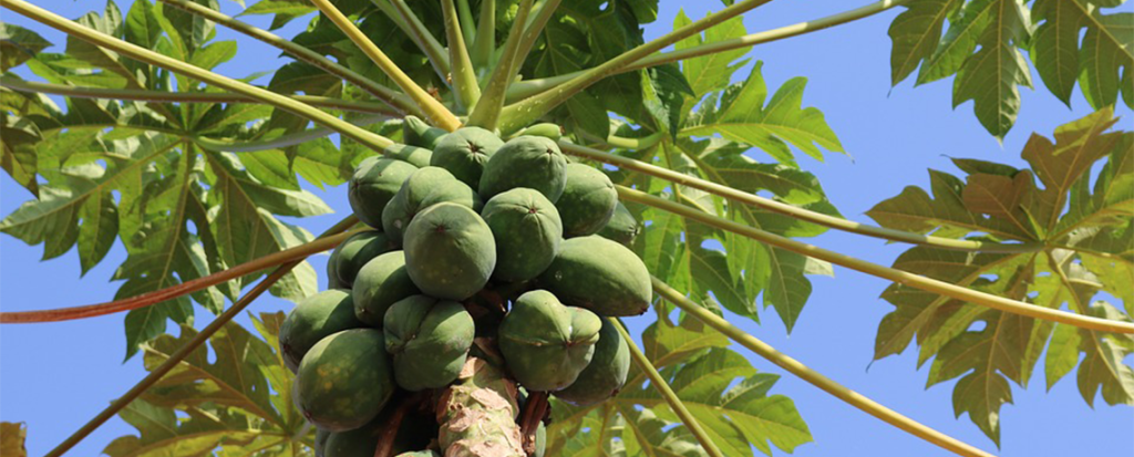 Papaya Genetically Engineered to Resist Infection Fails Against New Virus Lineage