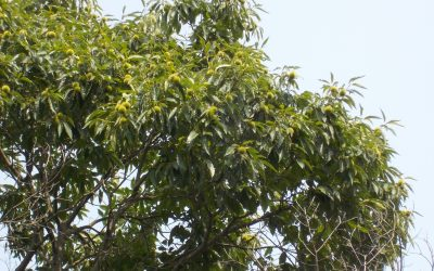 Organic Grower Discusses Threats of GE American Chestnut
