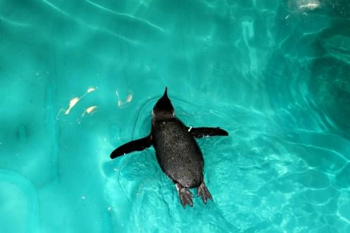 Little Blue Swimmer