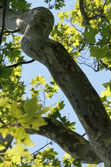 Camo Tree-Ipswich Audubon