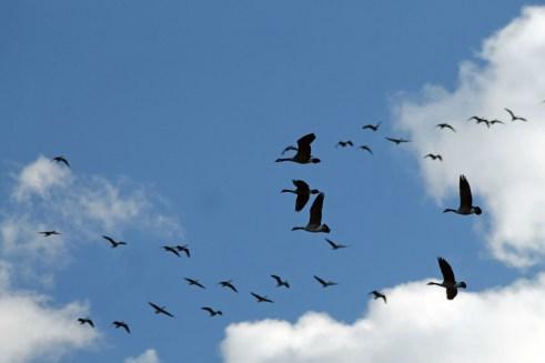Geese in Flight 3