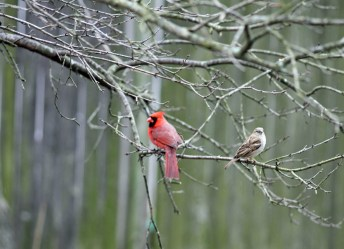 Male Cardinal and his friend