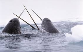 "A group of disgusting Sperm Whales, seen here  ""sword fighting"" and group masturbating."