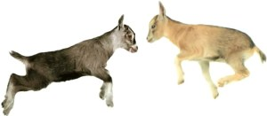 "Telus' goats jump for joy with the company victorious over Rogers' ""misleading"" claims about network reliability"