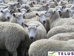 Sheep - Courtesy: kidicarus222