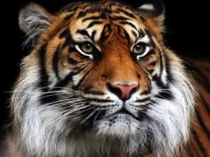 Big cats - Tigers Beautiful 02