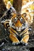 Big cats - Tigers Beautiful 03