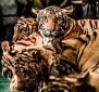 Big cats - Tigers farmed in China 06