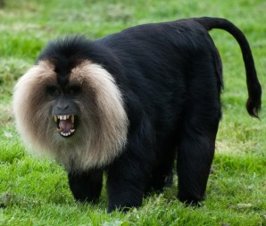 Monkeys - 40 Pin lion tailed macaque