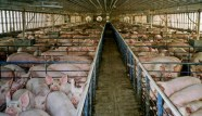 Factory farming - pigs crowded in pens