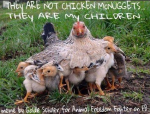 Factory farming - poultry chicken not nuggets
