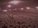 Factory farming - poultry factories 6