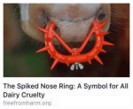 Message - Cattle dairy spiked nose ring