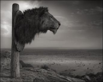 Trophy hunters - Lion's head
