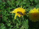 abeille_sur_pissenlit_d_tail