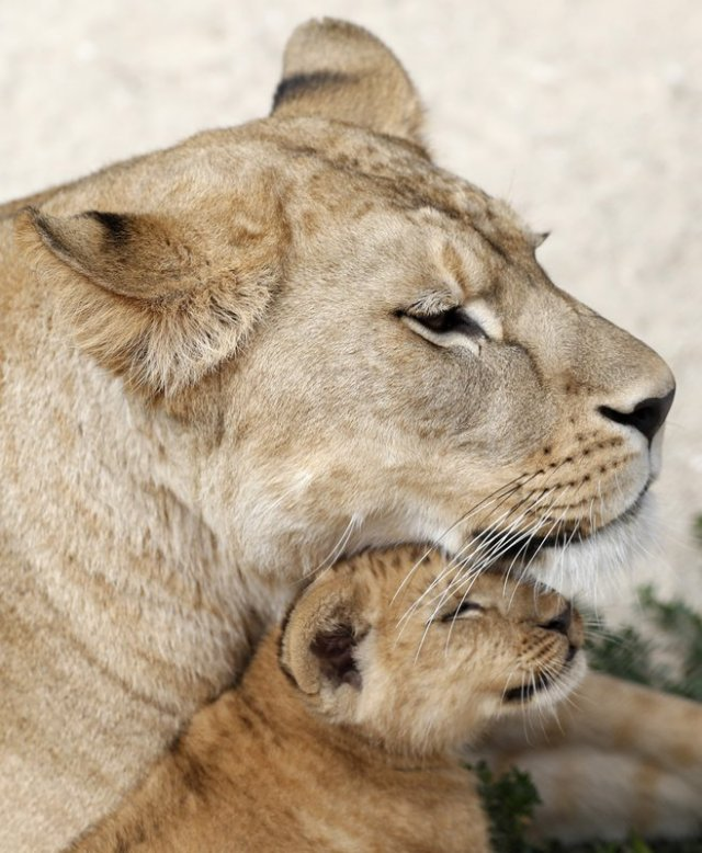 A Barbary lion cub with its mother Khalila rests in its enclosure at the zoo in Dvur Kralove, Czech Republic, Monday, July 8, 2019. Two Barbary lion cubs have been born in a Czech zoo, a welcome addition to a small surviving population of a rare majestic lion subspecies that has been extinct in the wild. A male and a female that have yet to be named were born on May 10 in the Dvur Kralove safari park. (AP Photo/Petr David Josek)