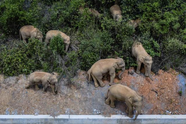 FILE - In this aerial photo file photo taken on May 28, 2021, and released by China's Xinhua News Agency, a herd of wild Asian elephants stands in E'shan county in southwestern China's Yunnan Province. A herd of 15 wild elephants that walked 500 kilometers (300 miles) from a nature reserve in China's mountain southwest were approaching the major city of Kunming on Wednesday, June 2, as authorities rushed to try to keep them out of populated areas. (Hu Chao/Xinhua via AP, File)