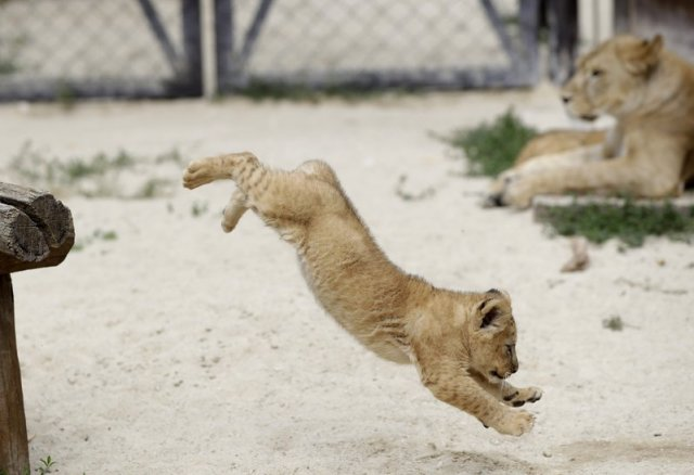 A Barbary lion cub jumps in its enclosure at the zoo in Dvur Kralove, Czech Republic, Monday, July 8, 2019. Two Barbary lion cubs have been born in a Czech zoo, a welcome addition to a small surviving population of a rare majestic lion subspecies that has been extinct in the wild. A male and a female that have yet to be named were born on May 10 in the Dvur Kralove safari park. (AP Photo/Petr David Josek)