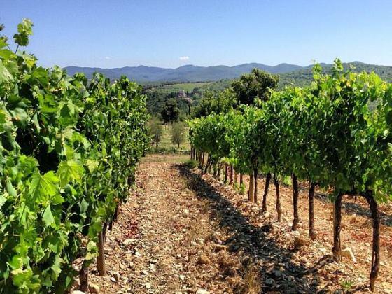 Rosso di Montalcino, filari di viti