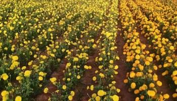 गेंदा फूल को लेकर बढ़ रहा किसानों का उत्साह...