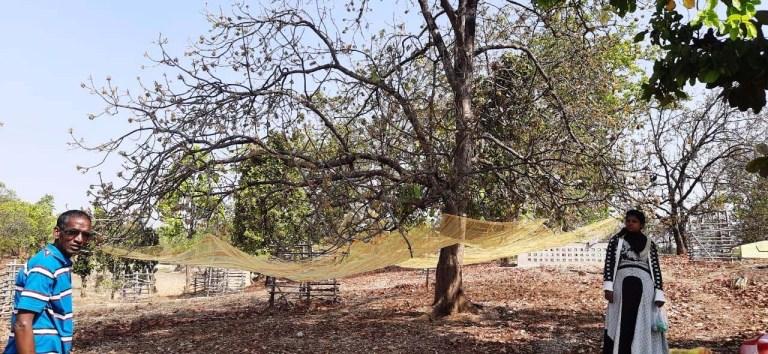 पेड़ों पर जाली बांध कर महुवा संग्रहण