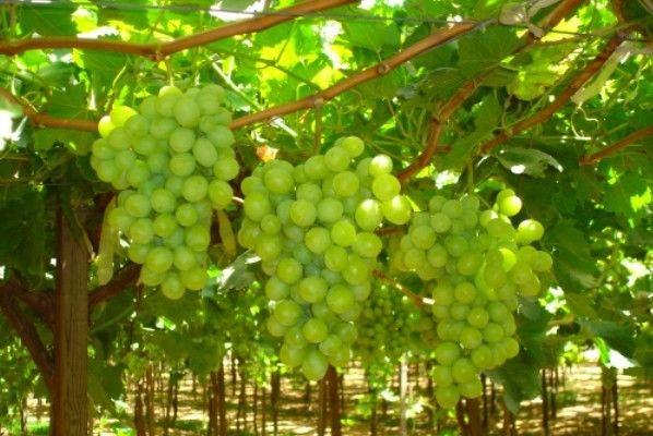 अंगूर की खेती