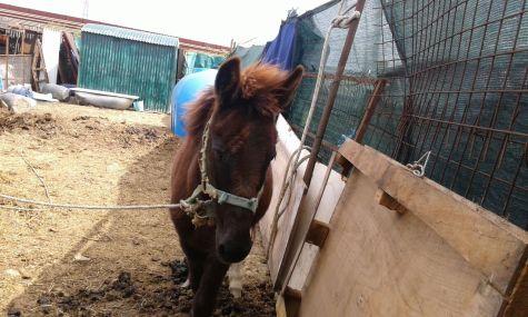 cavallo scappato campi (4)