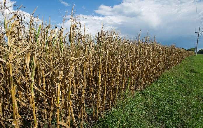 Drought Impacts Iowa Cornfield. © Stephen J. Carrera / Greenpeace
