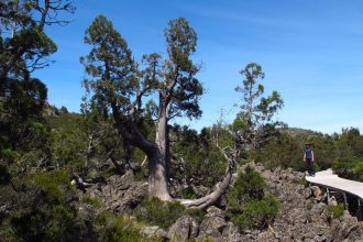 Ancient pencil pines grow on the glaciated dolerite landscape near the Overland Track