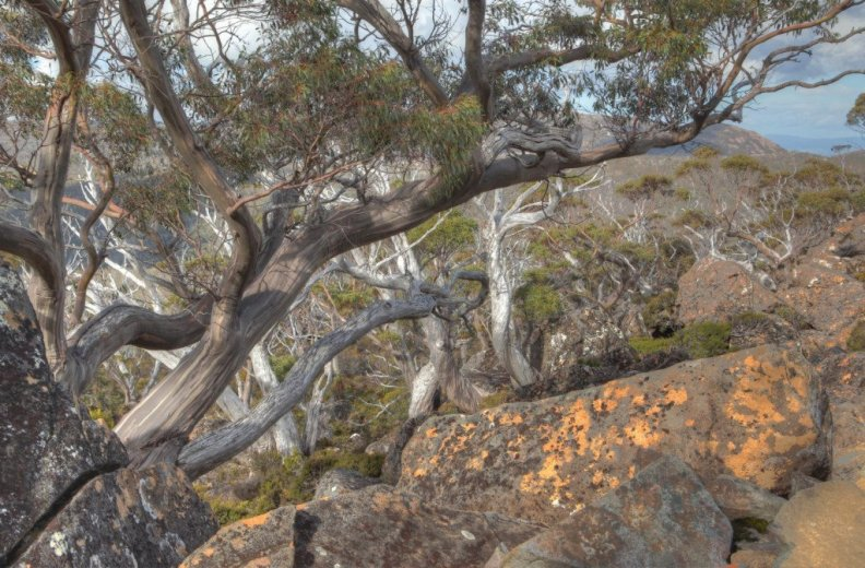 Snow gum on the Rodway Range, Mt Field NP - by Angus Munro